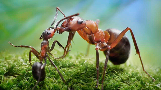 Размеры муравья