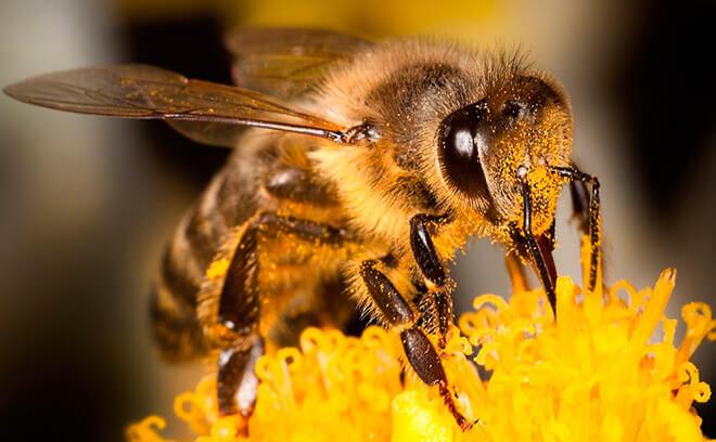 Как выглядит пчела?