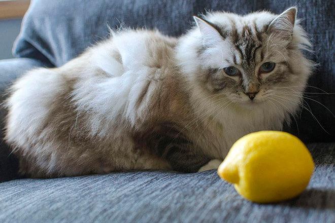 Эффективные народные способы выведения запаха кошачьей мочи с диванов и кроватей