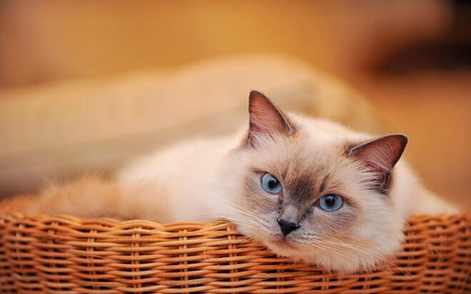 Сиамская кошка пушистая порода