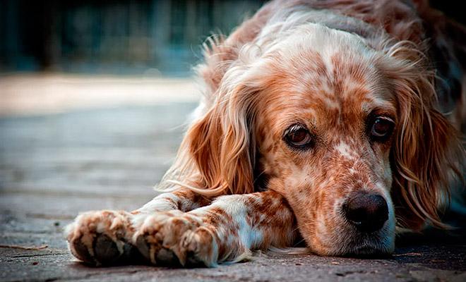 Почему собака может скулить