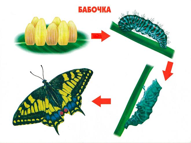 Развитие гусеницы
