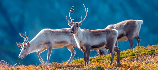 Топ - 15 фактов о северном олене
