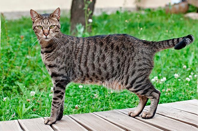 Содержание и уход за египетскими кошками мау