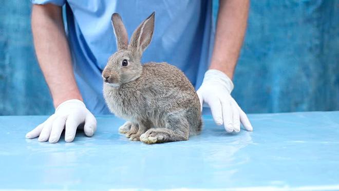 Прививка кроликов вакциной PASORIN – OL против пастереллеза