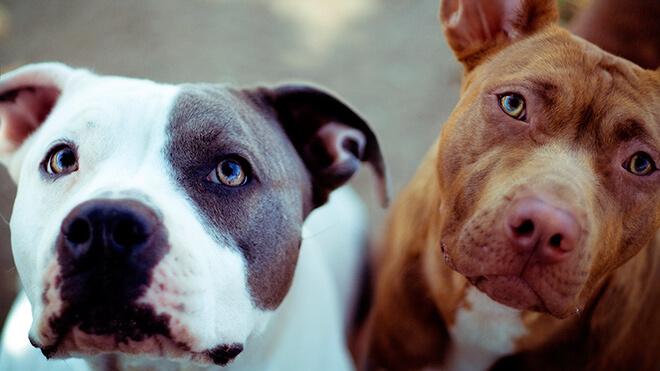 И еще немного о собаках бойцах