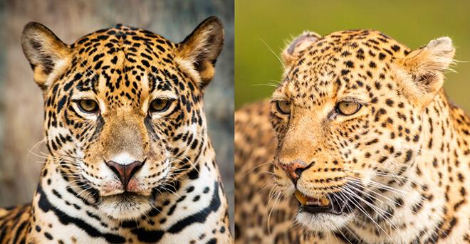 458 отличие ягуара от леопарда
