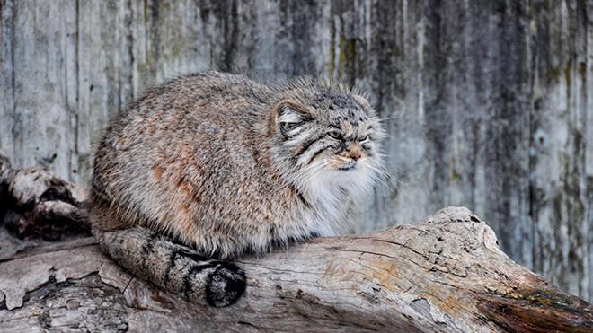 Манул, онжепаласов кот