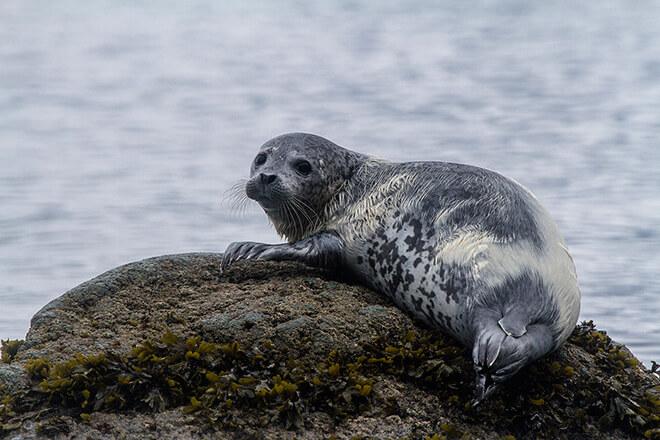 Чем питаются тюлени?