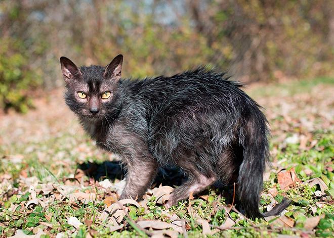 Характер кошек породы ликой