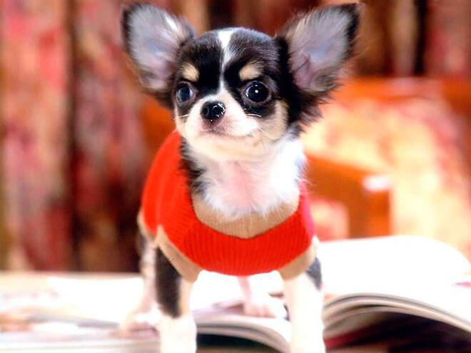 Чем самые маленькие породы собак лучше больших?