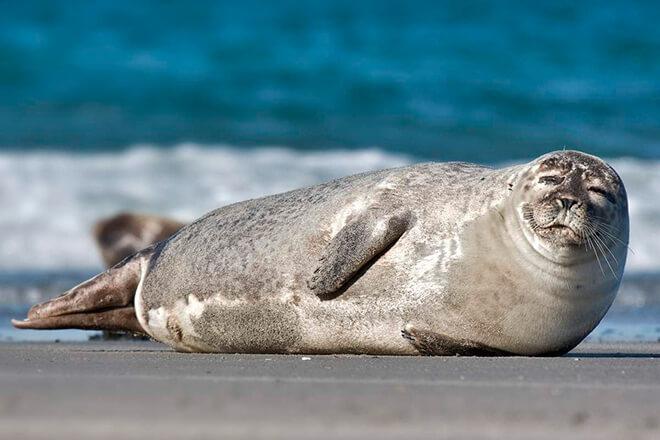 12 интересных фактов о тюленях