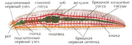Внутреннее строение дождевого червя. Пищеварительная, нервная, кровеносная система дождевого червя