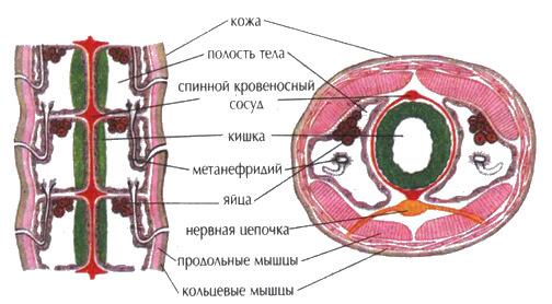 Строение дождевого червя при продольном и поперечном разрезе. Видны парные трубочки выделительной системы