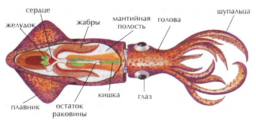 Особенности анатомии, сколько щупалец у кальмара