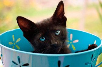 К чему снятся черные котята