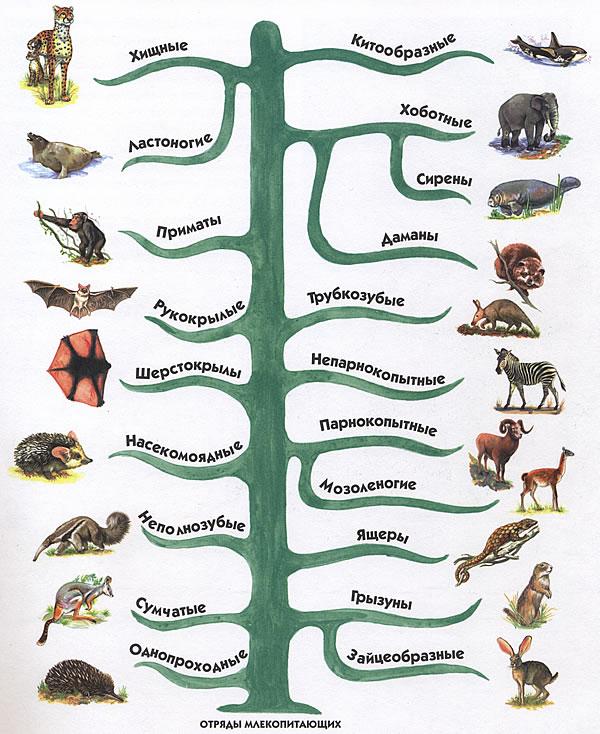Описание отрядов млекопитающих