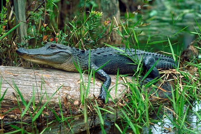Любопытные факты об аллигаторах
