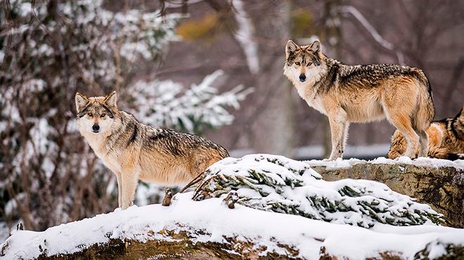 Топ - 15 интересных фактов о волках