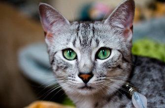 Египетская кошка