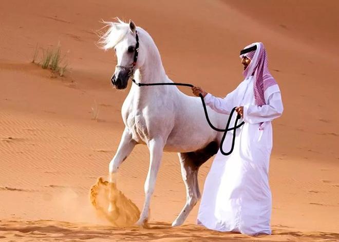 Мировое распространение арабских скакунов