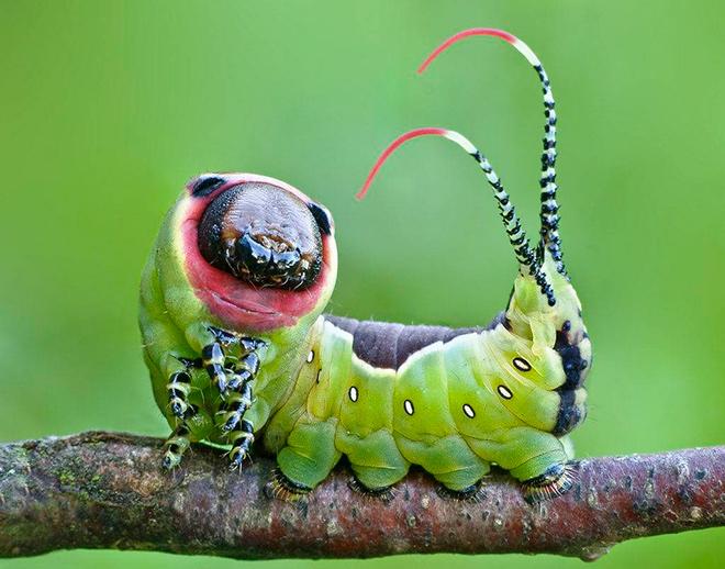 Гусеницы бабочек имеют
