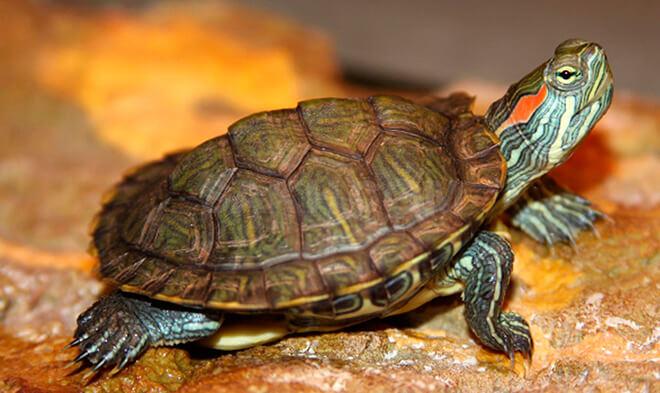 Черепаха — спокойная долгожительница