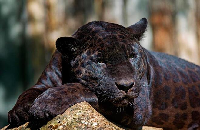 Образ жизни пантеры