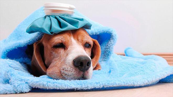 Как собака может заразиться вирусным энтеритом