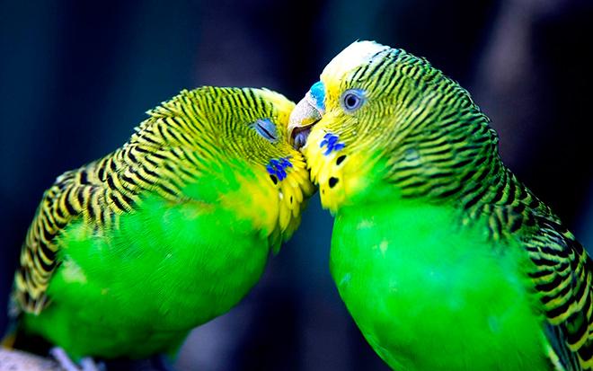 Как назвать попугая: советы орнитологов для говорящих пород