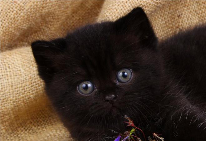 Как выбрать котенка черного британца