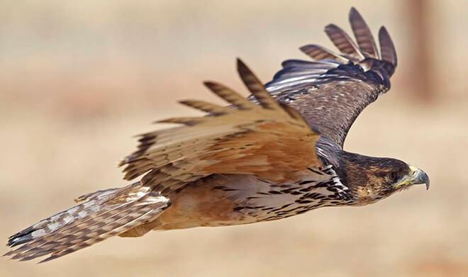 Ястребиный орёл