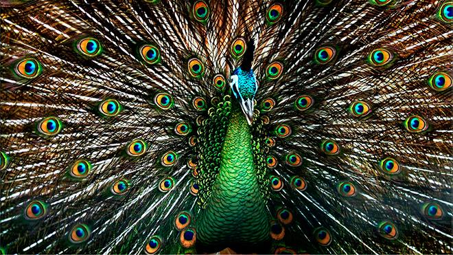 Зелёный павлин