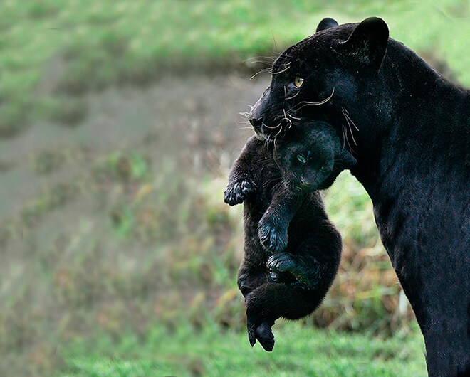 Размножение пантер