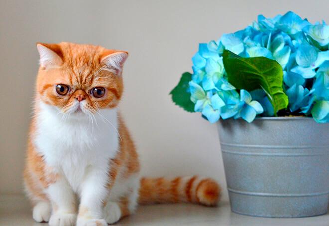 Экзотическая порода кошек