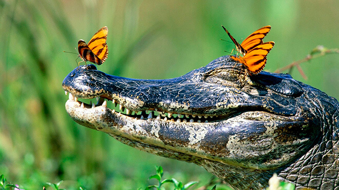 Крокодил грееться