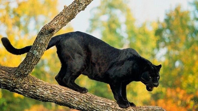 Где обитает пантера?