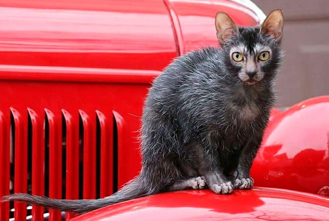 История происхождения кошек похожих на оборотней