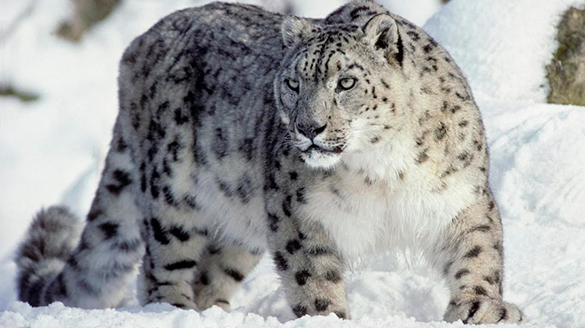 Топ - 15 интересных фактов о снежном барсе