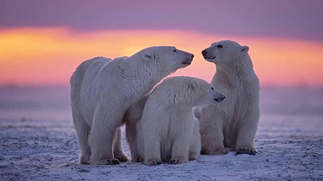 17 интересных фактов о белом медведе