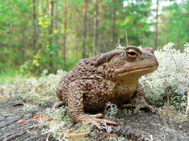 Описание жабы