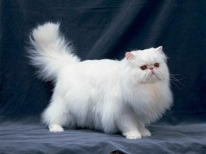 Здоровье и болезни персидской кошки