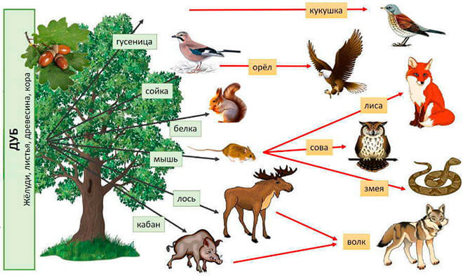 Цепи питания в лиственных и смешанных лесах