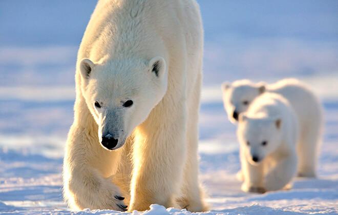 Как выглядят белые медведи