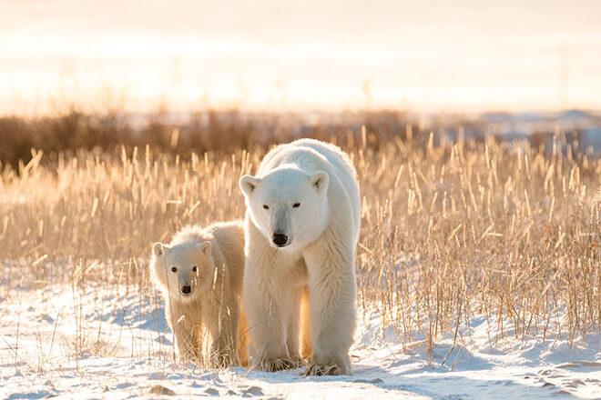 Как растят малышей белые медведи