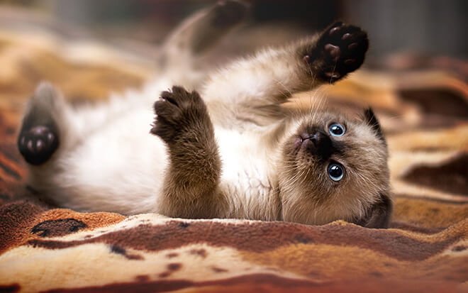 528 сиамский котенок фото