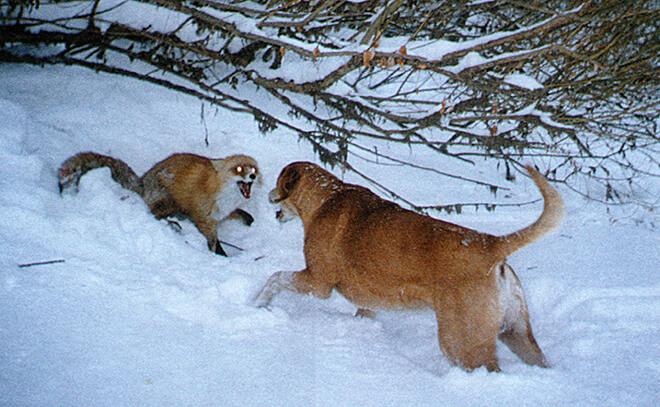 Охота с русскими гончими