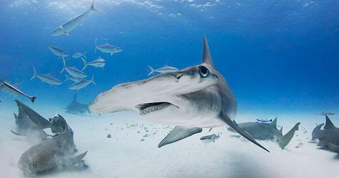 Топ - 20 фактов об акулах