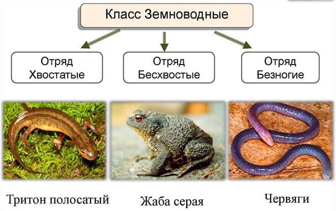 Описание класса Земноводные