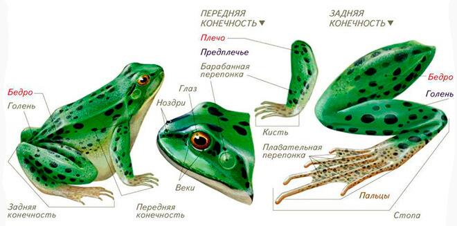 Особенности строения лягушки